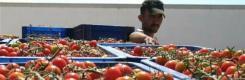 tn_tomatoes.jpg